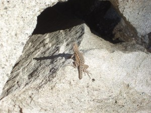 lost tail lizard