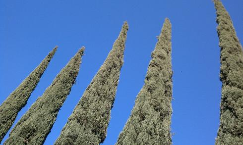 cyprus bushes 3